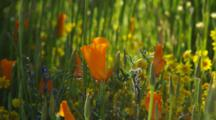California Poppies And Goldfields