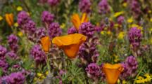California Poppies, Goldfields And Owl's Clover