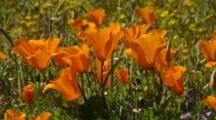 Close Up California Poppies