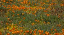 Field Of California Poppies And Other Flowers