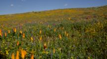 Field Of Closed Up California Poppy And Other Flowers