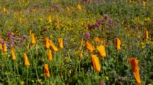 Closed Up California Poppy And Other Flowers