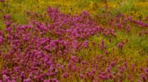 Desert Wildflowers Featuring Owl's Clover