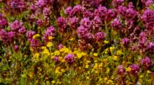 Owl's Clover And Goldfields In Breeze