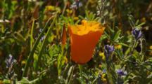 Single California Poppy In Field