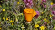 California Poppy And Owl's Clover