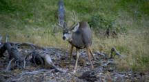 Mule Deer Grazes In Meadow