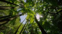 Looking Up At Sunlight Through Rainforest Canopy