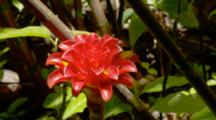 Tropical Flower, Possibly Wax Ginger, In Rainforest