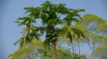 Looking Up At Papaya Tree