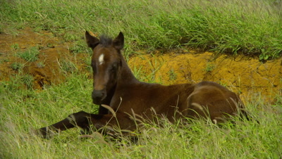 Foal Lying In Grass Near South Point, Big Island