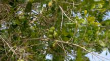 Macadamia Tree With Fruit, Nuts