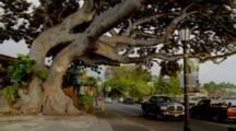 People And Cars Pass Large Ficus Tree In Kona
