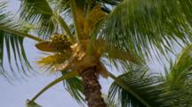 Looking Up At Palm Tree, Blue Sky, Breeze