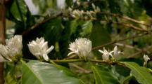 Coffee Trees In Plantation, Close Up Flowers
