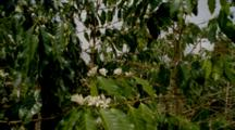 Coffee Trees In Plantation, With Flowers
