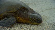 Sea Turtle Crawls On Beach Near Kona