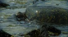 Sea Turtle Feeds On Algae On Shallow Rocks Near Kona