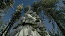 Tilt Down Snow Covered Conifer Tree, Mt Ashland, Oregon
