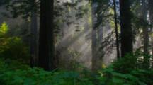 Rays Of Light In Redwood Forest, Ferns Foreground, Redwood National Park
