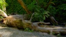 Redwood Tree Trunk Across Stream At Fern Canyon In Redwood National Park