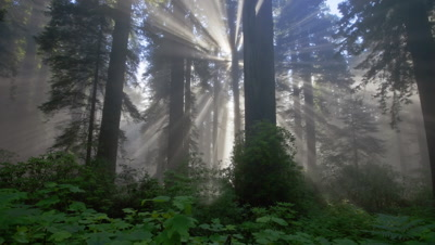 Time Lapse Light Rays In Redwood National Park