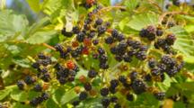 Blackberries On Plants
