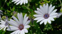 White Purple Eye African Daisy