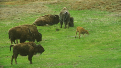 Bison With Calf In Green Field In Yellowstone