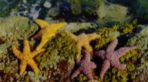 Red And Orange Sea Stars On Rocks By Brookings, Or