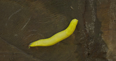 Bright Yellow Banana Slug on Brown Background in Forest