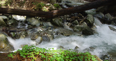 Fallen Tree and Sorrel Next to Rocky Stream in Forest