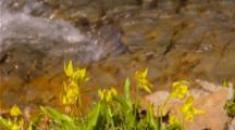 Glacier Lilies Next To Creek