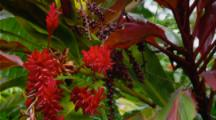 Red Ginger Flowers Among Vegetation In Hawaiian Forest