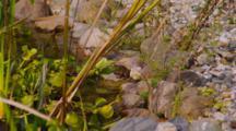 koi Pond With Frog And Aquatic Plants