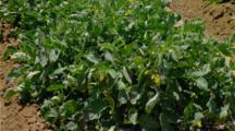 Tomato Field, Row Crop In Central California