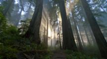 Time Lapse Rays of light in  redwood forest