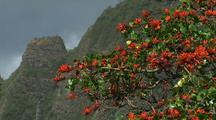 Coral Tree, Hawaii
