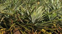 Pineapple Field, Hawaii