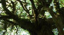Ferns High In Tree In Olympic National Park
