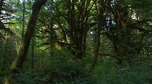 Forest In Olympic National Park