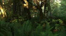 Ferns In Forest In Olympic National Park