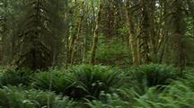 Forest Walk In Olympic National Park