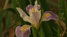 Iris Flower In Redwood National Park