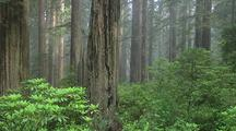 Redwood Forest Scenic, Redwood National Park