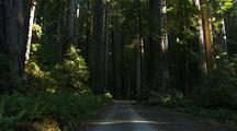 Path Through Forest In Redwood National Park