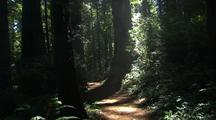 Walking Through Forest, Sun Rays In Redwood National Park