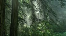 Sun Rays, Fog Through Forest In Redwood National Park