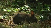 Forest Rabbit Feeding In Redwood National Park