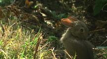 Forest Rabbit Grooms, Hops Away In Redwood National Park